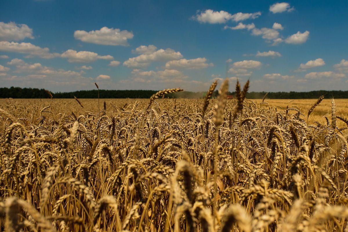 Красная пшеница фото