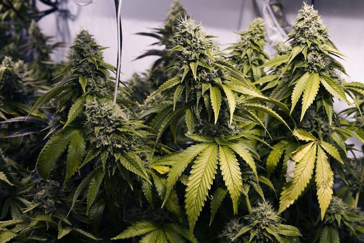 Фото что такое марихуаны марихуану почему запрещает