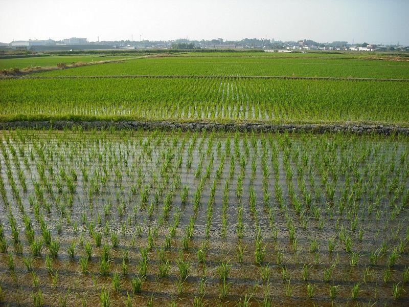 НаКубани стартовал сев риса