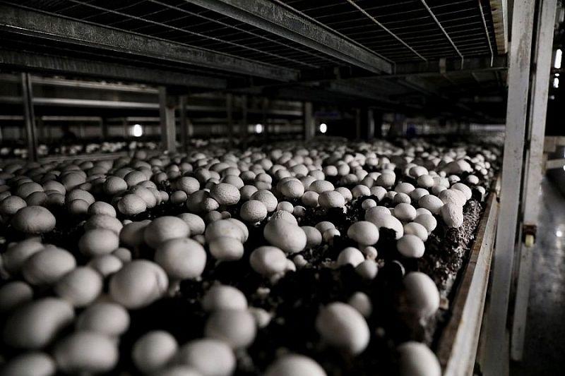 Краснодарский край вошел в число регионов-лидеров по производству грибов