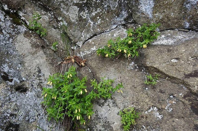 Исчезающее доледниковое растение зацвело в горах Сочи на месяц позже срока