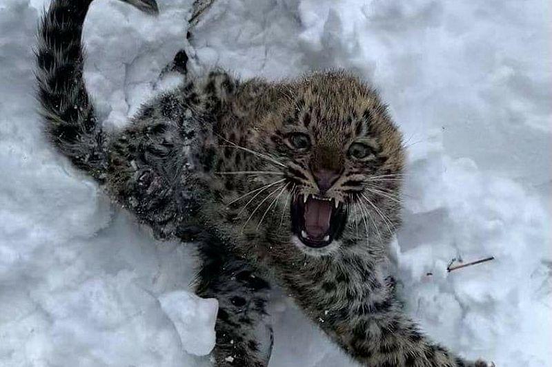 Двух котят леопарда в Сочи назвали в честь рек