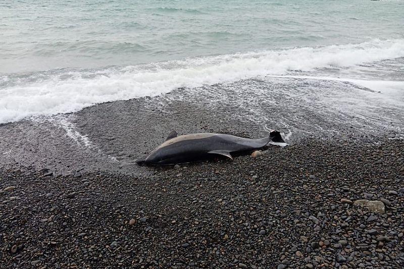 С начала 2021 года в Краснодарском крае погибли почти 150 дельфинов