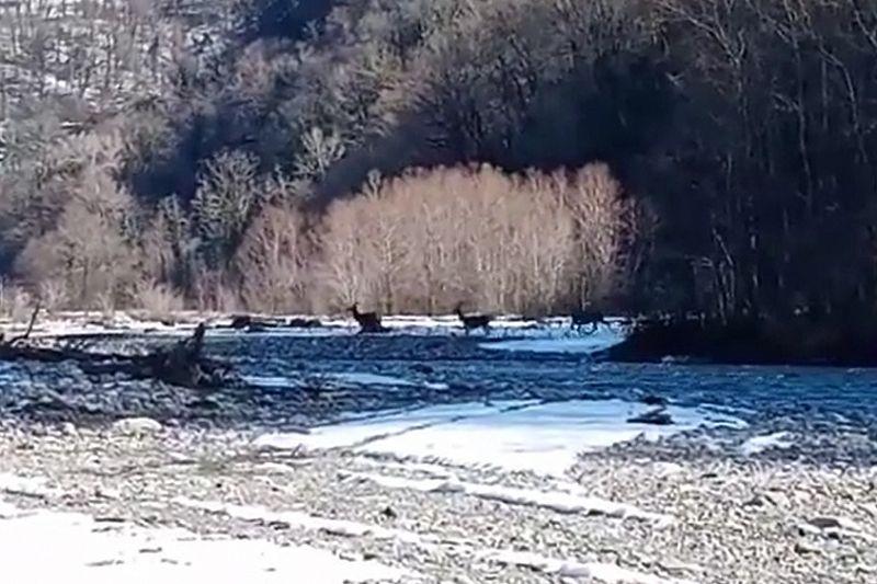 В нацпарке сняли на видео кавказских благородных оленей