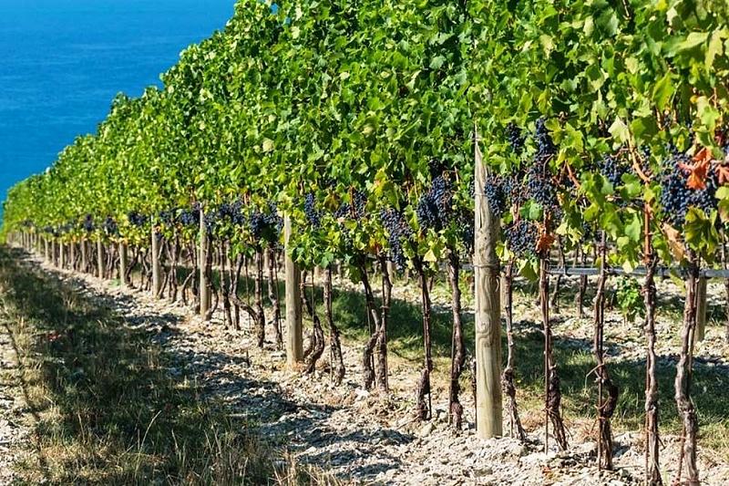 В России к виноградарству привлекут малых и средних фермеров
